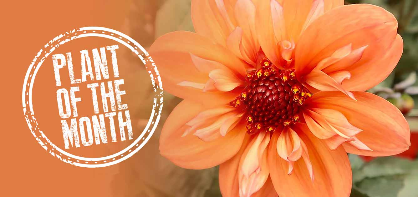 plant-of-month-august-dahlia