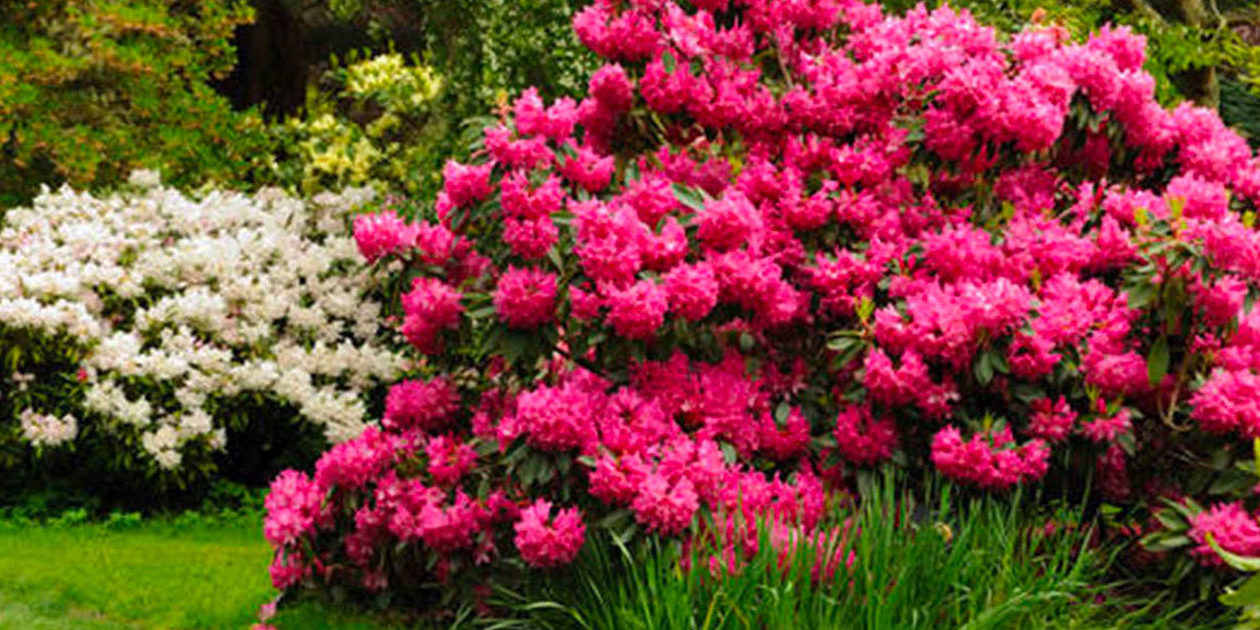 new-rhododendrons-panorama
